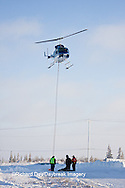 01874-11805 Polar Bear (Ursus maritimus) biologists preparing to airlift bear from Polar Bear Compound, Churchill MB