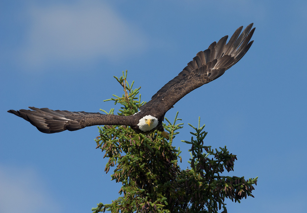 Bald Eagle taking off from tree top near Somes Harbor, Mount Desert Island, Maine