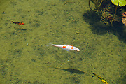 colourful Koi swimming in a pond