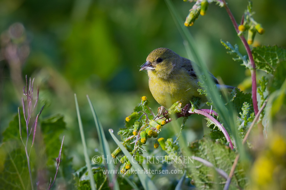 A lesser goldfinch perches on a stem, eating thistle from a nearby plant