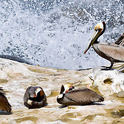 Brown pelicans, Southern California.