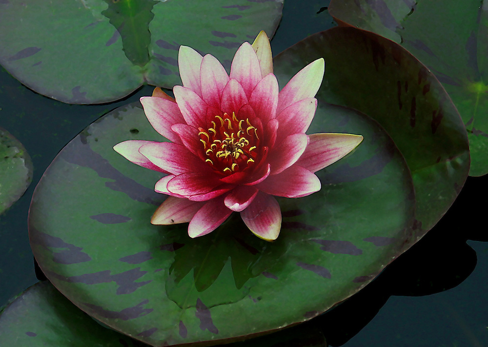 A rather impressive water lily at the lily pond.