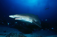 Aliwal Shoal Indian Ocean South Africa sand tiger shark (Carcharias taurus)