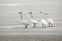 Tundra Swans stand on an ice shelf on a large marsh pond at the Bear River Migratory Bird Refuge in northern Utah.