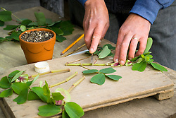 Taking semi ripe cuttings from tender perennials. (Amicia zygomeris). Showing cuttings being trimmed to size with a knife. Demonstrated by Kathleen Leighton, nursery manager at Great Dixter