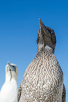 Portrait of a juvenile Cape Gannet with an adult blurred in the background and showing plumage variation between adult and juvenile, Malgas Island, West Coast National Park, Western Cape, South Africa