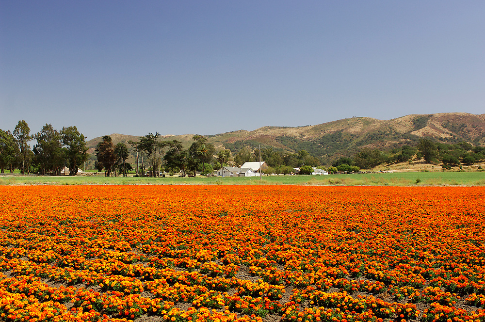 Flower fields near Lompoc, California, United States of America