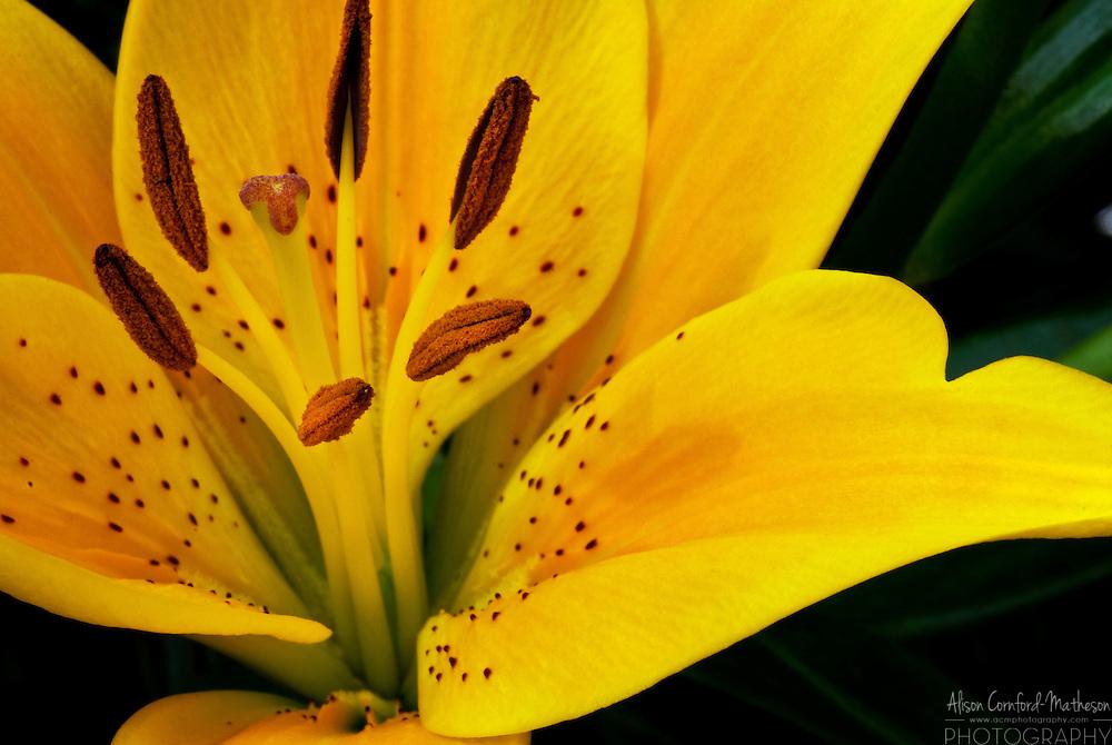 yellow lily  alison cornfordmatheson, Beautiful flower