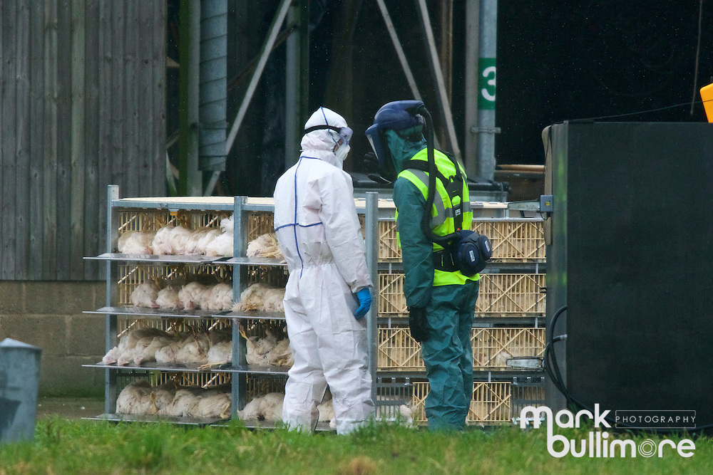Redgrave, Suffolk. The culling starts of 23,000 chickens at Bridge Farm near Redgrave in Suffolk, after confirmation by Defra &quot;Further investigations into the nature of the virus have now confirmed that it is the same highly pathogenic strain of H5N8 that has been found in wild and farmed birds in the UK since December 2016&quot;.<br /> <br /> Picture: MARK BULLIMORE