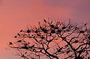 Dozens of Frigate birds (Fregata magnificens), nest in a tree on Pacheca Island, Las Perlas archipelago, Panama, Central America