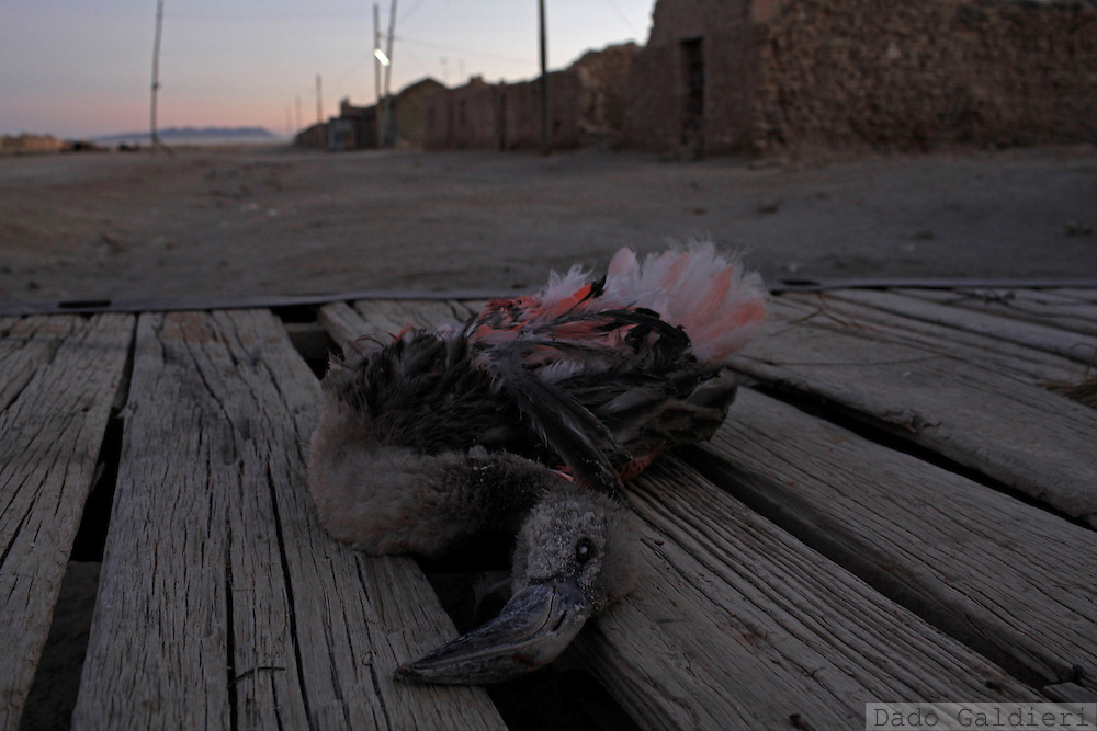 The dead body of a baby Chilean Flamingo (Phoenicopterus chilensis) hangs to dry on the back of a truck at the salt mining village of Colchani in southern Bolivia, Monday, July 26, 2010.   A late nidification triggered by extreme cold weather and severe droughts in their habitats, could be the cause why dozens of these graceful baby birds started to appear in cities that surround the salt flats of Uyuni. Unable to fly and being migratory animals they may have been left behind by their relatives on their routes escaping from the winter in the salty lagoons they live and reproduce. Hungry, disoriented and often too weak to fly or fend for themselves and find food on a new and hostile environment they are dying frozen, being smashed by touristic ATVs or trucks carrying mined salt across the flats or just being carried away by people that feel sorry and try to protect them from the cold in their houses.   (Photo Dado Galdieri)