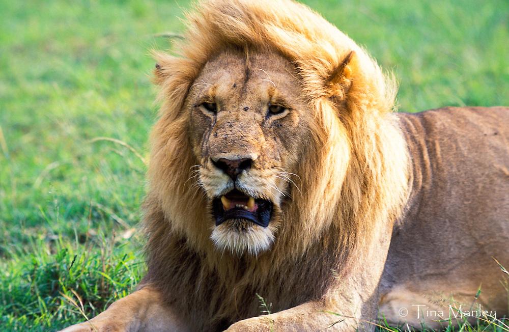 KENYA, AFRICA: Male lion, panthera leo, panting in the heat, Nairobi National Park