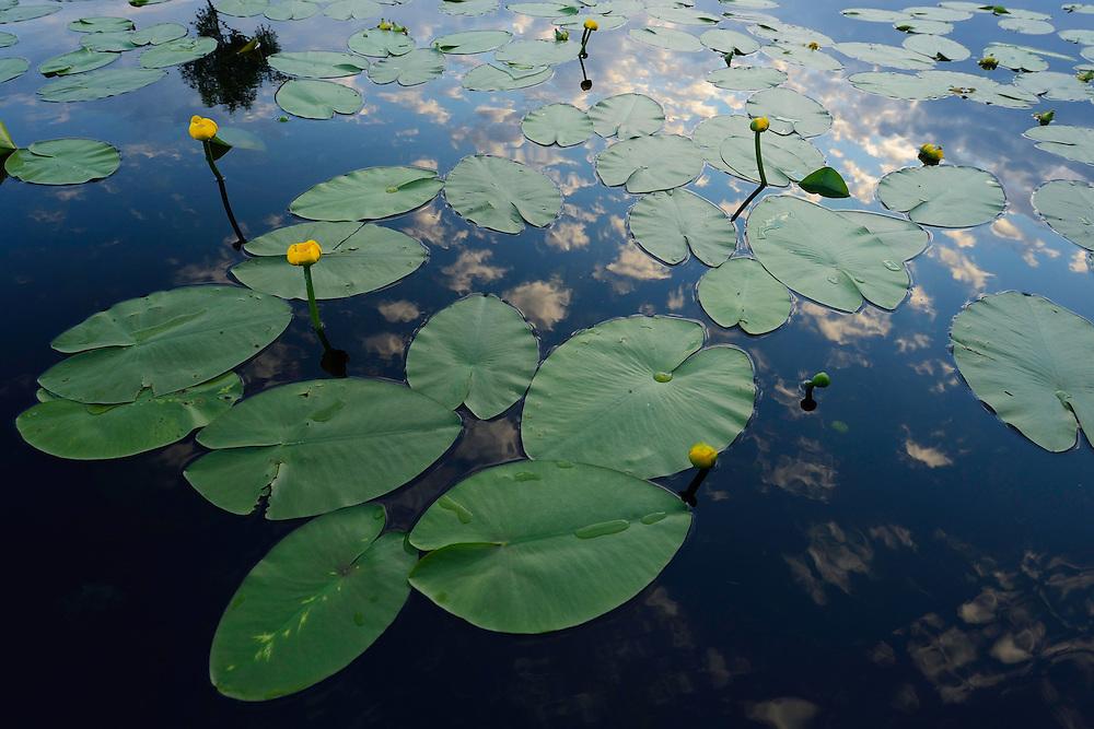 Yellow waterlily, Nuphar lutea, Danube delta rewilding area, Romania