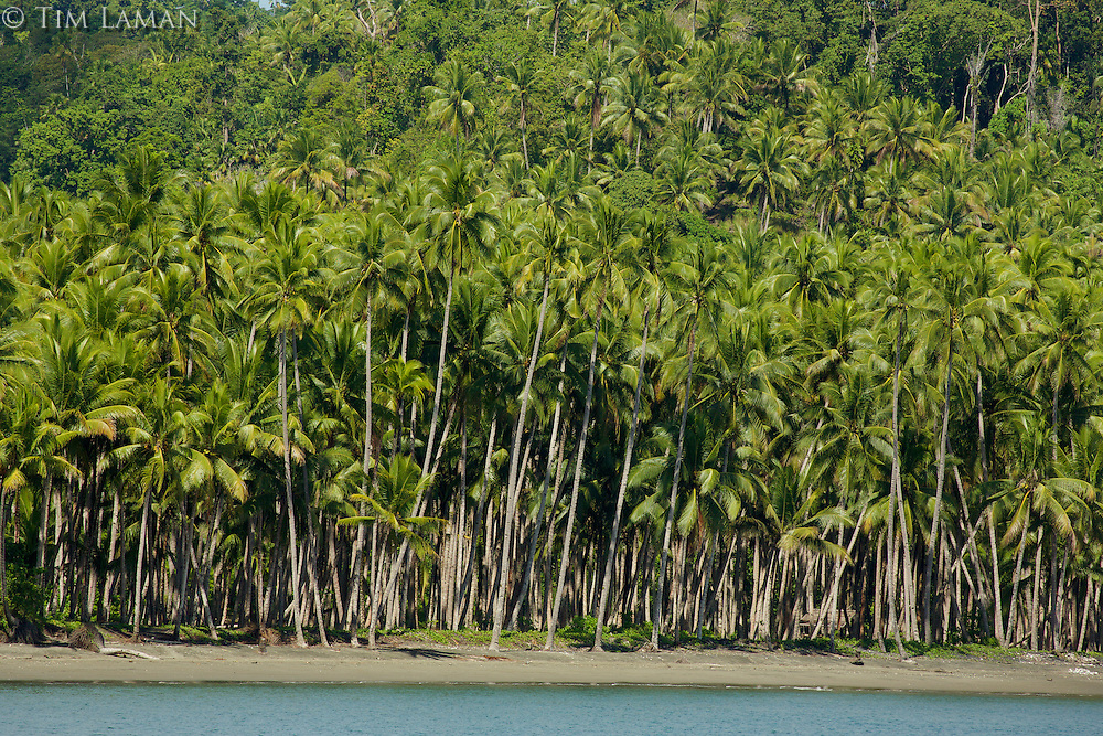 Coconut plantation along coast at Labilabi Village, Halmahera, Indonesia.  Copra is the biggest crop here.
