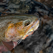 A cutthroat trout  caught using a grasshopper pattern on the South Fork of the Snake River, Idaho