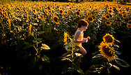 Bernie Schintz, 6 of York City, runs through a field of sunflowers along Dark Hollow Road in Hellam Township, following a photo session with her grandfather Bill Schintz Tuesday, September 2, 2008. Fields of the large, bright yellow flowers are in full bloom and catching the attention of passerby..John Pavoncello photo