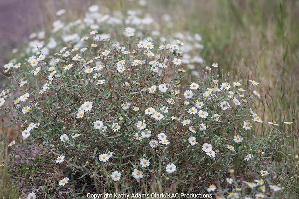Blackfoot Daisy; Melampodium leucanthemum at Big Bend National Park, Texas in summer.