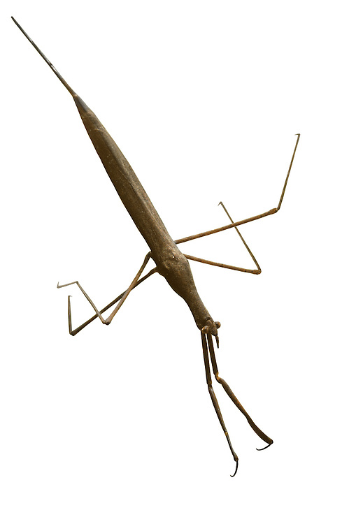 Water Stick Insect - Ranatra linearis