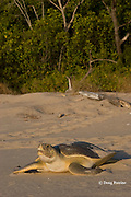 Australian flatback sea turtle, Natator depressus, female crawling back down nesting beach toward ocean after nesting, Crab Island, off Cape York Peninsula, Torres Strait, Queensland, Australia