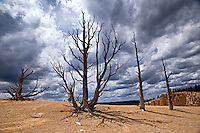 Turbulent clouds above old bristlecone pine trees in Bryce Canyon National Park, Utah