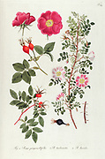 Hand painted botanical study of Scotch rose (Rosa pimpinellifolia), Rosa turbinata Aiton and Virginia rose (Rosa lucida syn Rosa virginiana) bushes from Fragmenta Botanica by Nikolaus Joseph Freiherr von Jacquin or Baron Nikolaus von Jacquin (printed in Vienna in 1809)