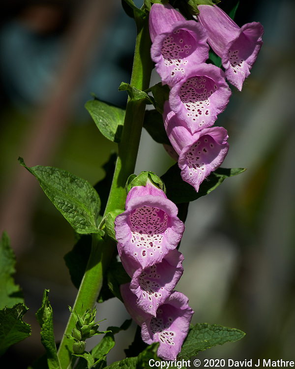 Foxglove. Image taken with a Nikon D850 camera and 70-300 mm VR lens.