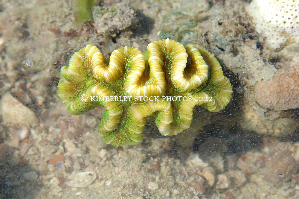 The brilliant green polyps of a convoluted coral stand out underwater.