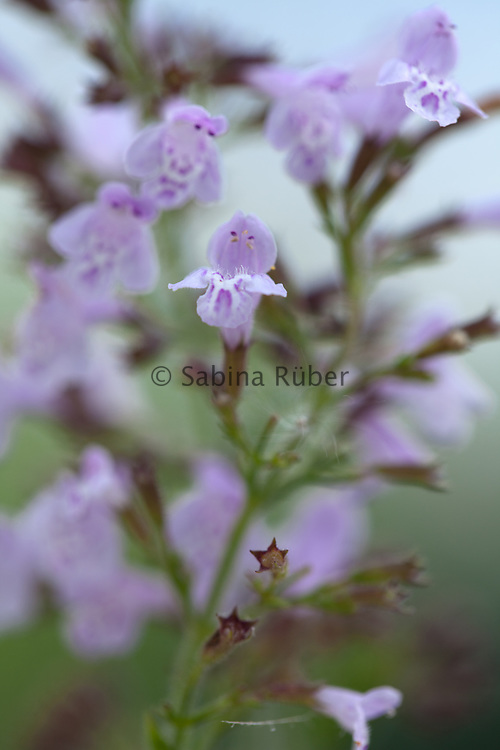 Calamintha nepeta - lesser calamint