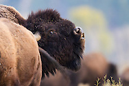 A large male bison lifts his head to let out a call to others around him