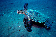 UNDERWATER MARINE LIFE HAWAII TURTLES: Green Sea Turtle Chelonia mydas