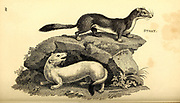 Stoat from General zoology, or, Systematic natural history Part I, by Shaw, George, 1751-1813; Stephens, James Francis, 1792-1853; Heath, Charles, 1785-1848, engraver; Griffith, Mrs., engraver; Chappelow. Copperplate Printed in London in 1800. Probably the artists never saw a live specimen