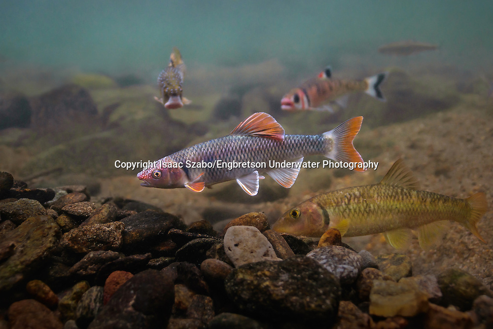 Whitetail Shiner<br /> <br /> Isaac Szabo/Engbretson Underwater Photography