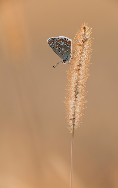 Lysandra (Papilionoidea), blue butterfly hanging on weedgrass in last sunlight, PNR Livradois Forez, Coupiere, Auvergne, France