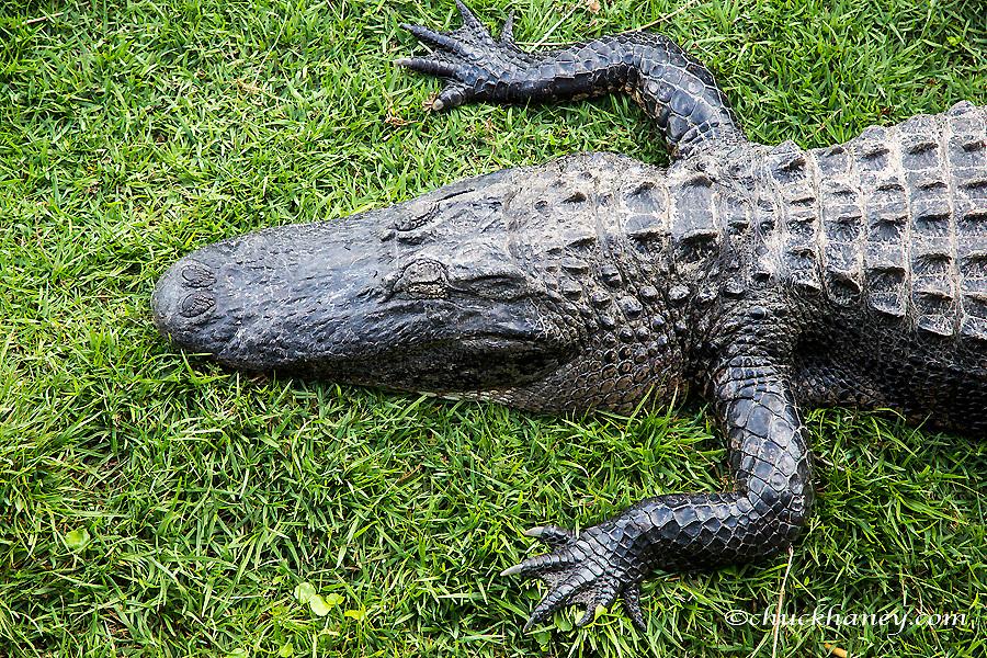 Aliigator sunning in Everglades National Park, Florida, USA