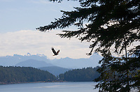 A bald eagle is seen flying over Desolation Sound from Cortes Island in British Columbia, Canada