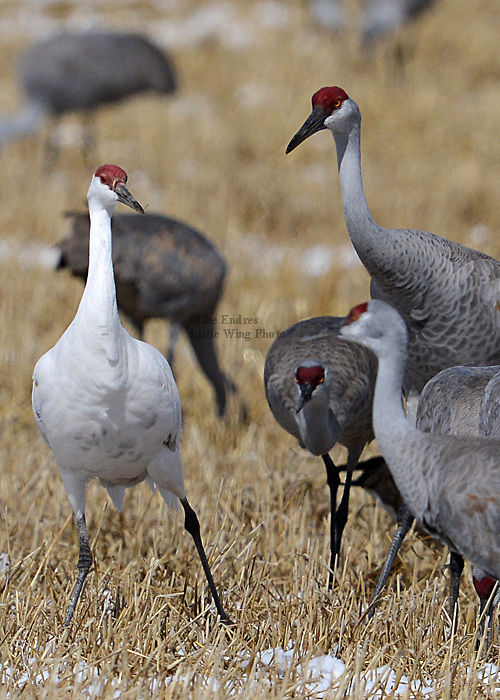 Sandhill Crane, Grus canadensis, Leucystic morph, white bird, dark primaries, extremely rare, Lesser Sandhill is 41 inches tall, remains in family groups year-round, Monte Vista National Wildlife Refuge, Colorado, March 2013