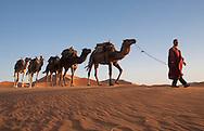 Berber leading camel train across sand dunes near Merzouga, Sahara Desert, Morocco