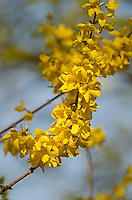 A branch of forsythia in bloom against a gray-blue background.