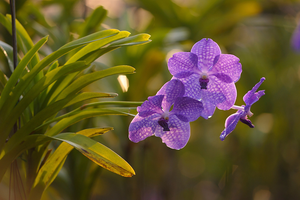 Orchid Collection, Sai Nam Phung Orchid, Chiang Mai, Thailand