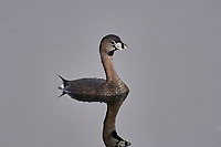 Pied-billed Grebe, (Podilymbus podiceps) swimming, Wakodahatchee Wetlands, Delray Beach, Florida, USA   Photo: Peter Llewellyn