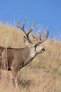 Trophy Colorado mule deer buck during the fall rut