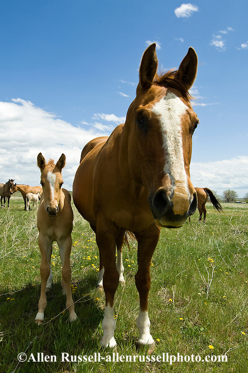 Quarter Horses, dun mare and foal<br /> PROPERTY RELEASED