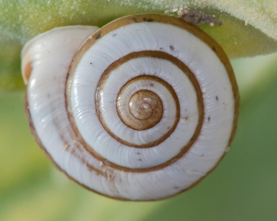 Snail, Praticolella candida;<br /> Photographer:  Cissy Beasley<br /> Property:  Twin Oaks Ranch / Lon Cartwright Family<br /> Live Oak County
