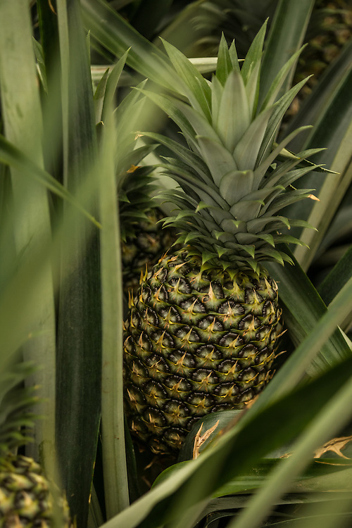 Pineapple crops at a private industrial farm in Costa Rica on January 12, 3014. Environmentalists claim the pineapple industry is contaminating the environment and local water supplies.