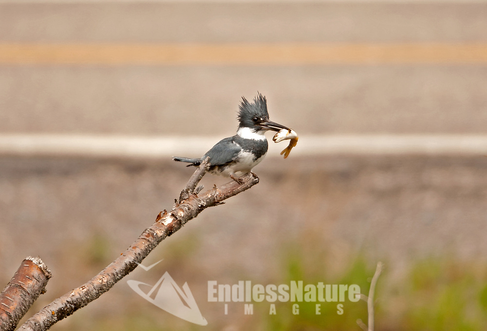 A male Belted Kingfisher has caught a small trout in a stream that is alongside a paved road.