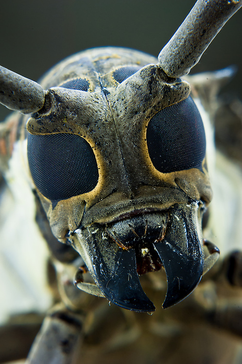 Close up stock photograph of a Mango Stem Borer (Batocera rufomaculata), a major pest to mango and rubber crops in Southeast Asia