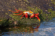 A red rock crab (Grapsus grapsus) approaches the water, Fernandina Island, Galapagos Archipelago - Ecuador.