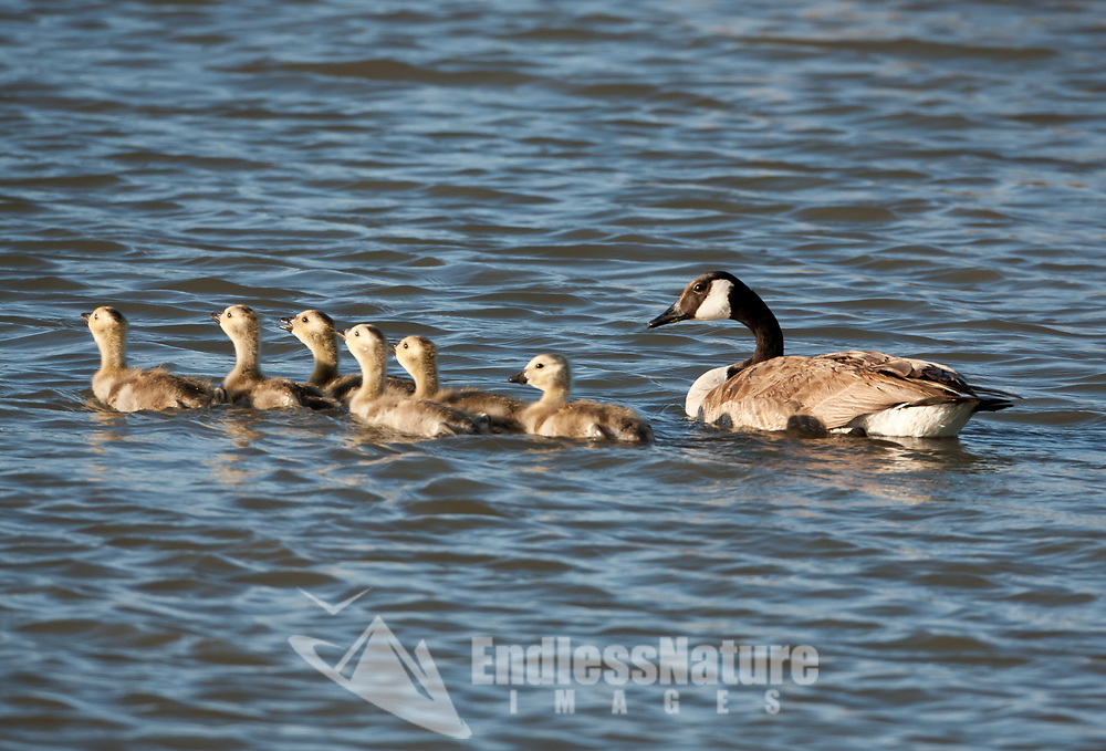 Six Canadian Goose goslings are out for a morning swim in a big marsh pond in northern Utah.