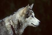 Dog musher, Dogs, Sled Dog, Dog sled, Dog Sledding, mushing, Denali National Park, Alaska