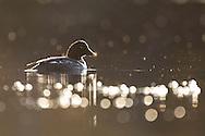 Goldeneye (Clangula bucephala) duck on forest lochan, Cairngorms National Park, Scotland.